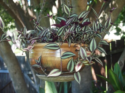 A Tradescantia Spiderwort in a hanging pot
