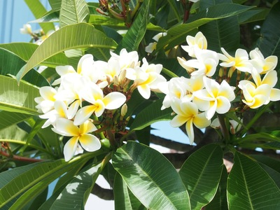 Frangipanis love to be planted where there is a radiant heat