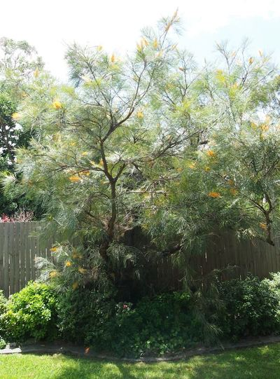 Grevillea Honey Gems do need pruning every now an then