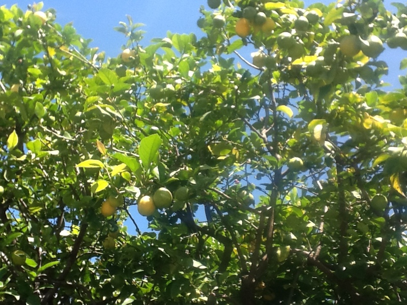 Lemon Tree (Citrus x limon)