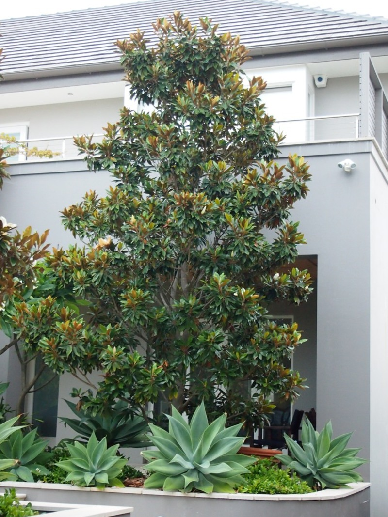 This Magnolia Little Gem was planted facing due north in a hot position and was thriving  - Magnolia grandiflora - Little Gem
