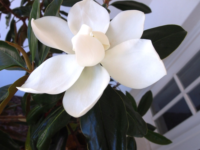 This Magnolia Little Gem was planted facing due north in a hot position and was thriving