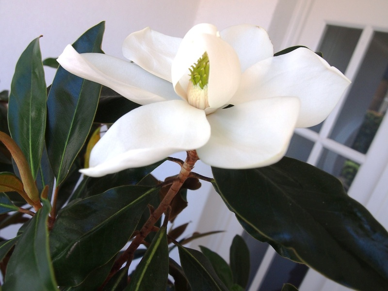 On closer inspection of the Magnolia Little Gem flower you will see the combination of green and white