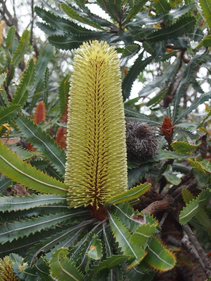 New growth on an Old Man Banksia