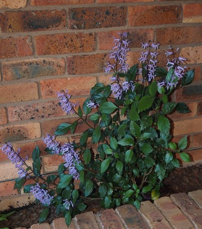 The Mona Lavender grows well in a shaded to semi-shaded spot like this planter box