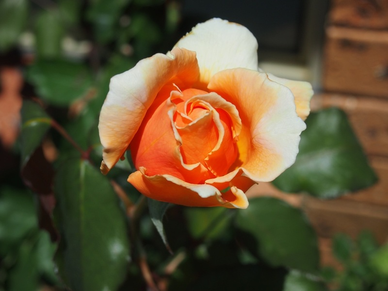 What name is this rose