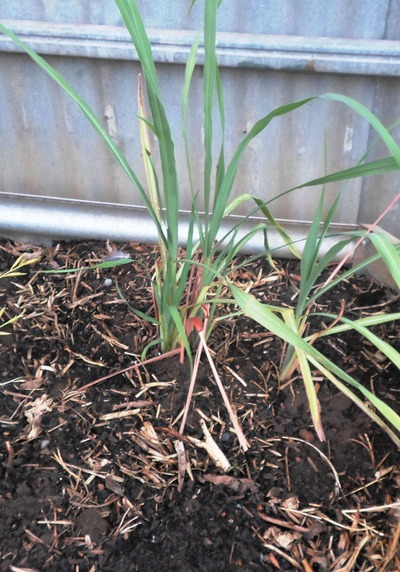 Lemon Grass In Pot